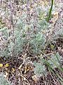 Artemisia austriaca sl6.jpg