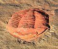 Asaphellus jujuanus frontal.jpg