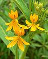Asclepias curassavica cv Silky Gold 1.jpg