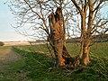 Ash Tree marking parish boundary - geograph.org.uk - 147851.jpg
