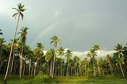 A rainbow over coconut trees in a field in Ashtamichira