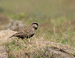 Ashy-crowned Sparrow Lark (Eremopterix grisea)- Male in Hyderabad, AP W IMG 8059.jpg