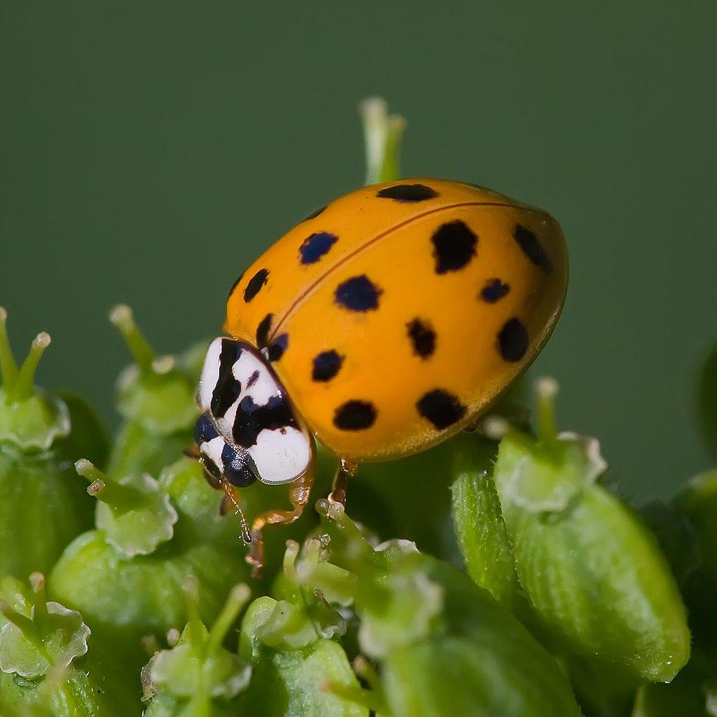 Asian lady beetle-(Harmonia-axyridis).jpg