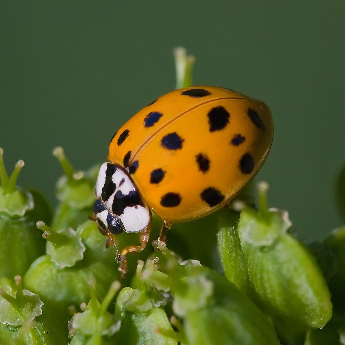 1200px Asian lady beetle Harmonia axyridis