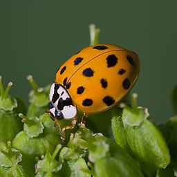 Asian lady beetle-(Harmonia-axyridis)