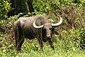Asiatic water buffalow (1).jpg