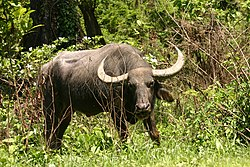 Asiatic water buffalow (1).jpg