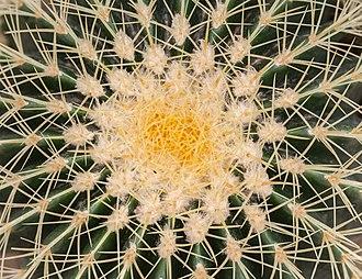 Echinocactus grusonii - Image: Asiento de suegra (Echinocactus grusonii), Jardín Botánico, Múnich, Alemania, 2013 09 08, DD 02