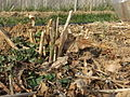 Asparagus - first shoot - DSCF8812.JPG