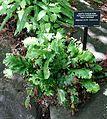 Asplenium scolopendrium 'Kaye's Lacerated' - VanDusen Botanical Garden - Vancouver, BC - DSC07108.jpg