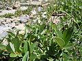 Astragalus alpinus (6120970172).jpg