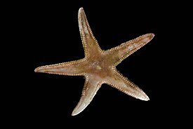 Astropecten irregularis.jpg