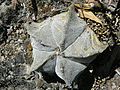 Astrophytum myriostigma (5723032467).jpg