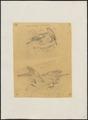 Astur erythrauchen - 1863-1876 - Print - Iconographia Zoologica - Special Collections University of Amsterdam - UBA01 IZ18300137.tif
