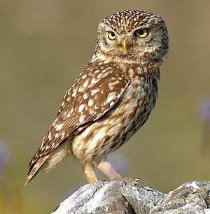 Owl - Little owl (Athene noctua)
