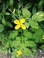 Atlas roslin pl Glistnik jaskółcze ziele 6516 8333.jpg