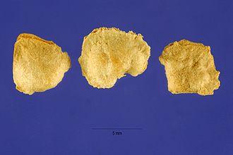Atriplex nummularia - A. nummularia seeds