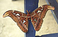 Attacus atlas (13313116053).jpg