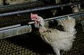 Aufnahme aus der Recherche zu Vorzeigebetrieben der Eierindustrie.jpg