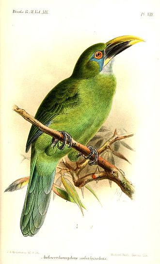 Groove-billed toucanet - Yellow-billed toucanet, illustration by Keulemans, 1891