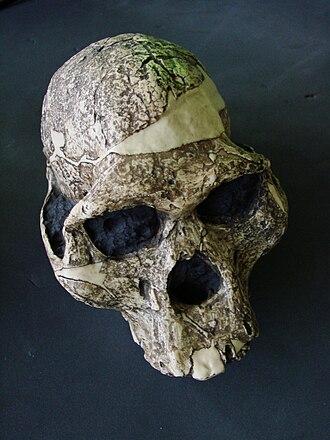Paleoanthropology - Skull of Australopithecus africanus