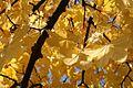 Autumn leaves in October (Europe).JPG