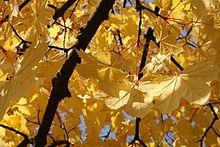 Autumn leaf color - Wikipedia