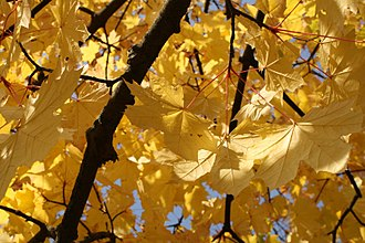 Autumn leaf color - Autumn leaves in October (Europe)