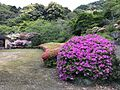 Azalea flowers near entrance of Mifuneyama Garden.jpg