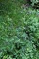 Bäcktistel (Cirsium rivulare)-0920 - Flickr - Ragnhild & Neil Crawford.jpg