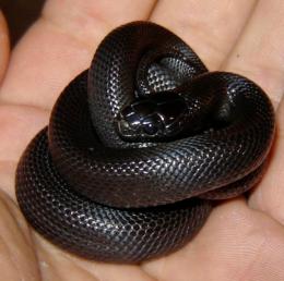 Koningsslangen Wikipedia