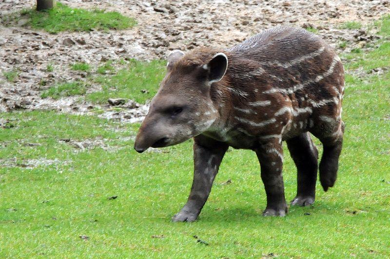 File:Baby tapir.jpg
