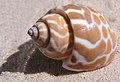 Babylonia spirata shell.jpg