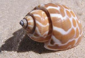 English: Babylonia spirata shell. Français : C...