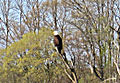 Bald Eagle on Weister Creek, WI Beaver Pond.jpg
