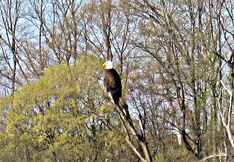 Kickapoo River - Bald eagle (Haliaeetus leucocephalus) attracted to Weister Creek beaver pond