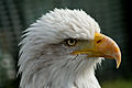 Bald eagle head closeup.jpg