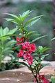 Balsam flowers 01.jpg