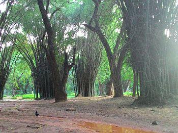 Bamboos in Cubbon Park.jpg
