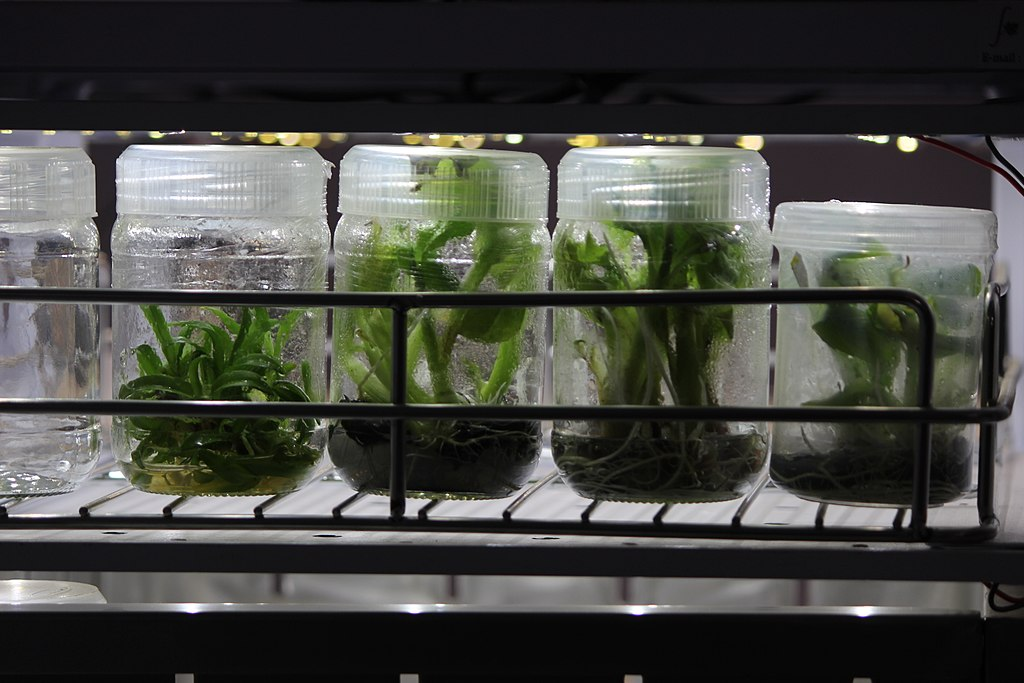 Banana seedlings by tissue culture