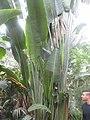 Bananier zoo de Vincennes.jpg