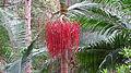Bangalow Palm fruit (15498501143).jpg