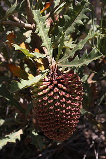 A shrub of the family Proteaceae native to the southwest of Western Australia.