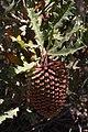 Banksia aculeata.JPG