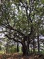 Banyan Tree at a village.jpg