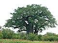 Baobab (Adansonia digitata) (6045424504).jpg