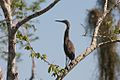 Bare-Throated Tiger-Heron (5295738726).jpg
