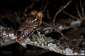 Bare-shanked Screech-Owl - Megascops clarkii.jpg