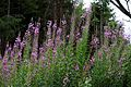 Barham Hill road Rosebay willowherb Elham Valley Way in Barham Kent England.jpg