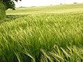 Barley, Bothampstead - geograph.org.uk - 814202.jpg